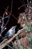 Great Spotted Woodpecker. (Dendrocopos major) sitting on branch in the forest Stock Photography