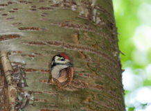Great spotted woodpecker Stock Images