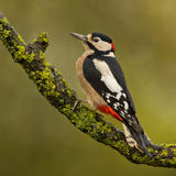 Great spotted woodpecker stock photos