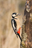 Great spotted woodpecker Royalty Free Stock Photo