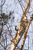 Great Spotted Woodpecker Royalty Free Stock Images
