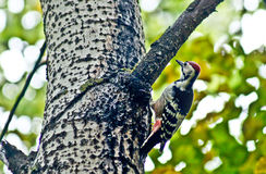 Great spotted woodpecker . Royalty Free Stock Image