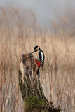 Great Spotted Woodpecker. (Dendrocopos major) sitting on a tree stump royalty free stock photos