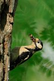 Great Spotted Woodpecker. The Great Spotted Woodpecker is also called Greater Spotted Woodpecker. This one is catching insects for the chicks Royalty Free Stock Images
