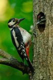 Great Spotted Woodpecker. The Great Spotted Woodpecker is also called Greater Spotted Woodpecker. This one is catching insects for the chicks Royalty Free Stock Photography