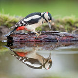 Great spotted woodpecker on a bark in a pond. With a reflection Stock Image