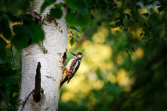 Great spotted woodpecker on birch tree next to hole Stock Photos