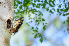 Great spotted woodpecker on birch tree next to hole with young bird Stock Image