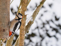 Great spotted woodpecker bird in black, white, crimson red patch Stock Photos