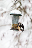 Great Spotted Woodpecker at a bird feeder Royalty Free Stock Images