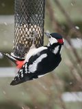 Great spotted woodpecker on bird feeder Stock Photo