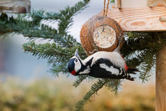 Great Spotted Woodpecker Bird In Black, White, Crimson Red Patch Stock Images