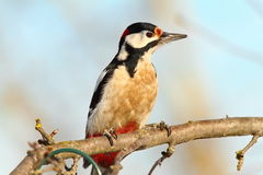 Great spotted woodpecker on branch Royalty Free Stock Photography