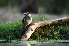 Great spotted woodpecker on a branch in the water royalty free stock image