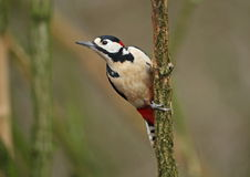Great spotted Woodpecker Stock Image