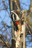 Great spotted woodpecker with cone / Dendrocopos m Stock Photos