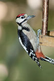 Great spotted woodpecker (Dendrocopos major). Stock Photo