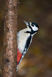 Great spotted woodpecker (Dendrocopos major). Royalty Free Stock Photo
