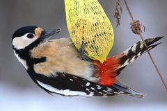 Great spotted woodpecker (Dendrocopos major) Stock Photography