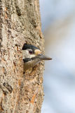 Great spotted woodpecker / Dendrocopos major. Great spotted woodpecker at his nest / Dendrocopos major Stock Image