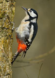 Great Spotted Woodpecker (Dendrocopos major). On a tree Royalty Free Stock Photography
