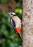 Great Spotted Woodpecker (Dendrocopos major) Stock Photos