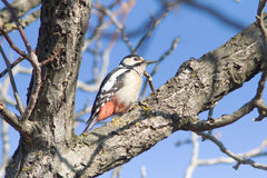 Great spotted woodpecker  / Dendrocopos major Stock Image