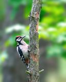 Great Spotted Woodpecker ( Dendrocopos Major ) Stock Photography