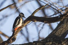 Great Spotted Woodpecker (Dendrocopos major) Stock Images