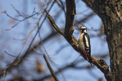 Great Spotted Woodpecker (Dendrocopos major) Royalty Free Stock Photos