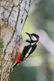 Great spotted woodpecker. The great spotted woodpecker (Dendrocopos major) is a bird species of the woodpecker family (Picidae Royalty Free Stock Images