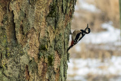 Great Spotted Woodpecker Dendrocopos major Stock Photography