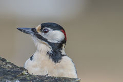 Great Spotted Woodpecker (Dendrocopos major) close-up Stock Photo