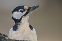 Great Spotted Woodpecker (Dendrocopos major) close-up. Great Spotted Woodpecker (Dendrocopos major) is a bird species of the woodpecker family (Picidae) and is Stock Photos