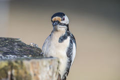 Great Spotted Woodpecker (Dendrocopos major) close-up Royalty Free Stock Images