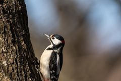 Great spotted woodpecker, Dendrocopos major, male bird sitting on a tree trunk in spring royalty free stock photography