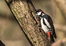 Great spotted woodpecker, Dendrocopos major, male bird sitting on a tree trunk in spring stock photography