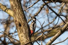 Great spotted woodpecker, Dendrocopos major, male bird sitting on a tree trunk in spring royalty free stock photo