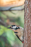 Great Spotted Woodpecker. Dendrocopos major pearched on a on a tree. Autumn time Stock Photos