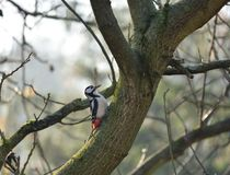 Great Spotted Woodpecker Dendrocopos major in Poland. stock photography