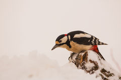Great spotted Woodpecker looking Stock Photography
