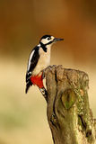 Great-spotted woodpecker, Dendrocopos major Stock Photography
