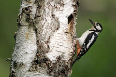 Great-spotted woodpecker, Dendrocopos major Royalty Free Stock Photography