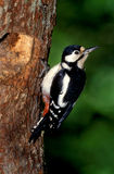Great-spotted woodpecker, Dendrocopos major Stock Images