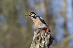 Great-spotted woodpecker, Dendrocopos major Stock Photo