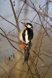 Great-spotted woodpecker, Dendrocopos major Royalty Free Stock Photo