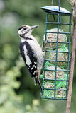 Great-spotted woodpecker, Dendrocopos major Royalty Free Stock Image