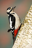 Great-spotted woodpecker, Dendrocopos major Royalty Free Stock Photos