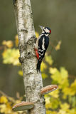 Great-spotted woodpecker, Dendrocopos major Stock Image