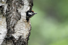 Great-spotted woodpecker, Dendrocopos major Royalty Free Stock Images